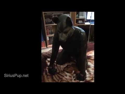 Sirius Pup FCT Posture Kneel Postion