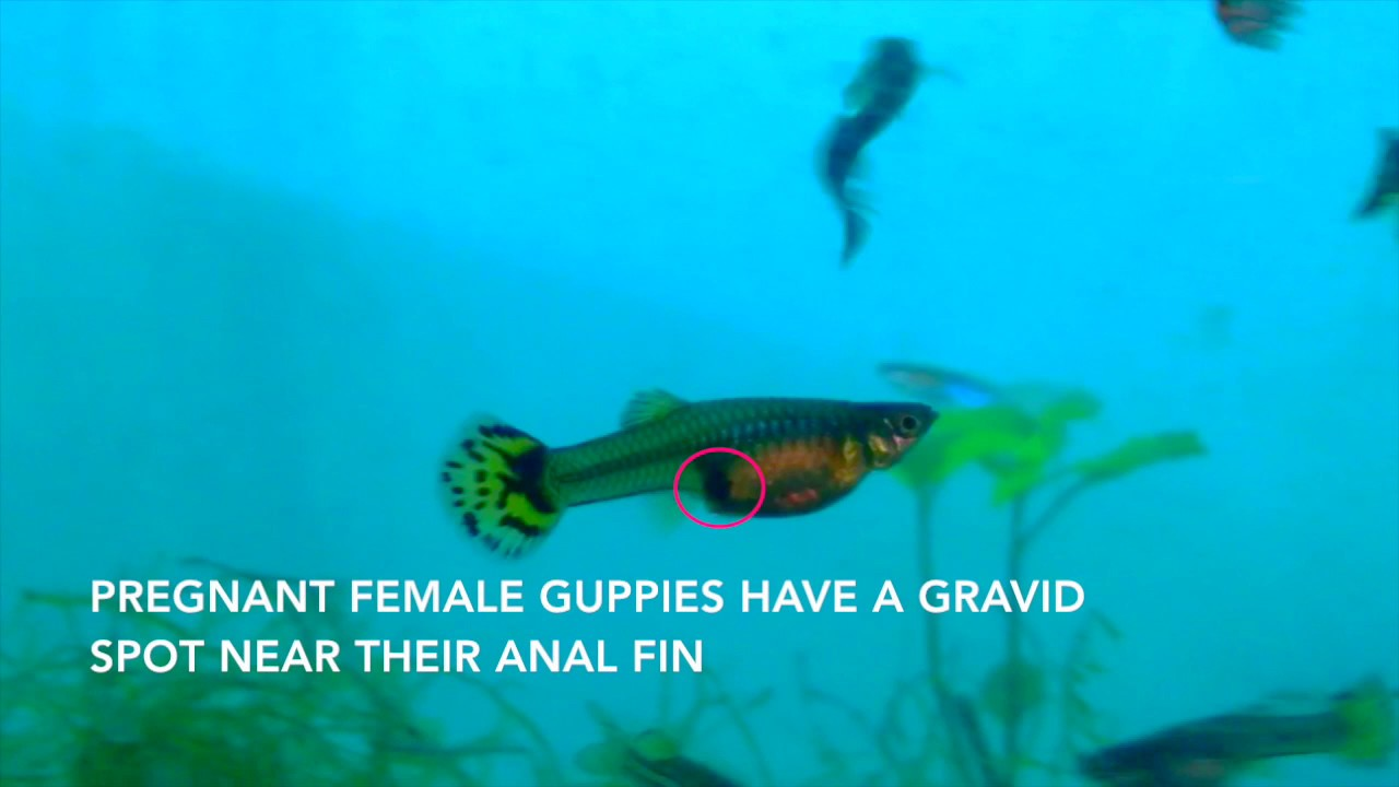 How to tell if your female guppy is pregnant is about to for How long is a guppy fish pregnant