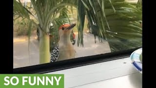 Woodpecker repeatedly knocks on window