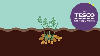 Earthy Potatoes: how do potatoes grow?