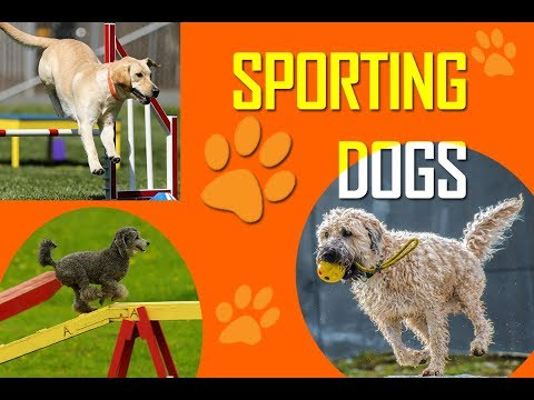 Breeds | Sporting Dogs | Sporting Dog Breeds | Sporting Dog Group | Most Popular Sports Dogs