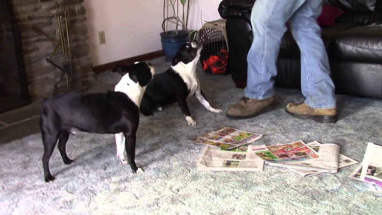 fat boston terrier angry fat boston terrier youtube 3097