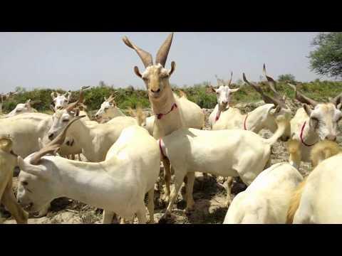 Mahar Nazeer ka deri farm | New Video 2020 from YouTube · Duration:  3 minutes 37 seconds