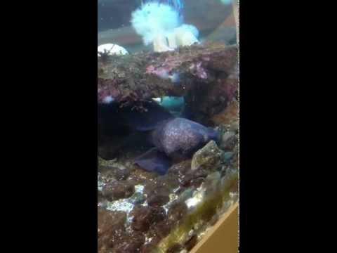 Wolf eel in cave, Molly Ahlgren Aquarium in Sitka Alaska