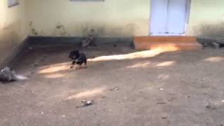 Rottweiler Puppy Playing With Ducks