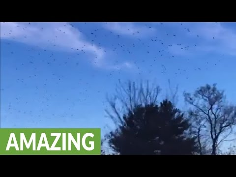 Massive murder of crows captured on camera