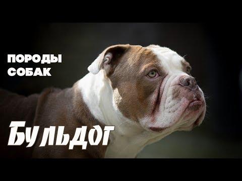 Породы собак. Бульдог