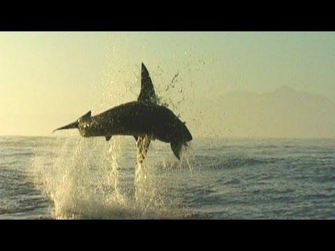 Sharks Vs Seals  AirJaws