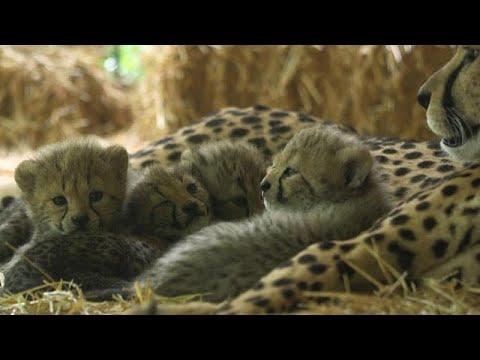شاهد: 4 من أشبال الفهد المهددة بالانقراض تبصر النور بحديقة للحيوانات في فيينا…  - نشر قبل 30 دقيقة