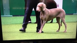 Weimaraner Best Of Breed At Crufts 2014