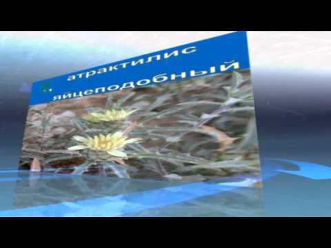 Кодонопсис ланцетный - Кодонопсис - Многолетние лианы