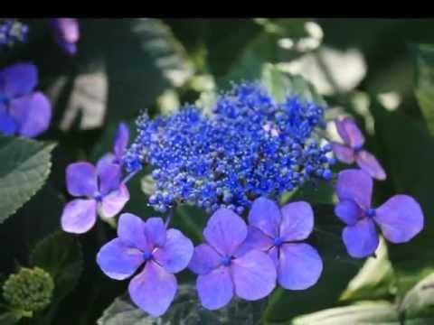 保安寺紫陽花