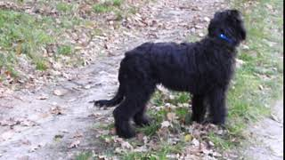black briard puppies from Buhlbino kennel