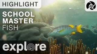 School Master Fish - Cayman Reef Live Cam Highlight thumbnail