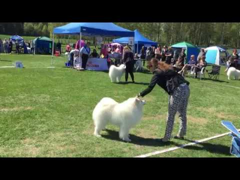 Royal Canin Dog Show 2017 | Helsinki 20 - 21.05.2017 | Samoyed DOG