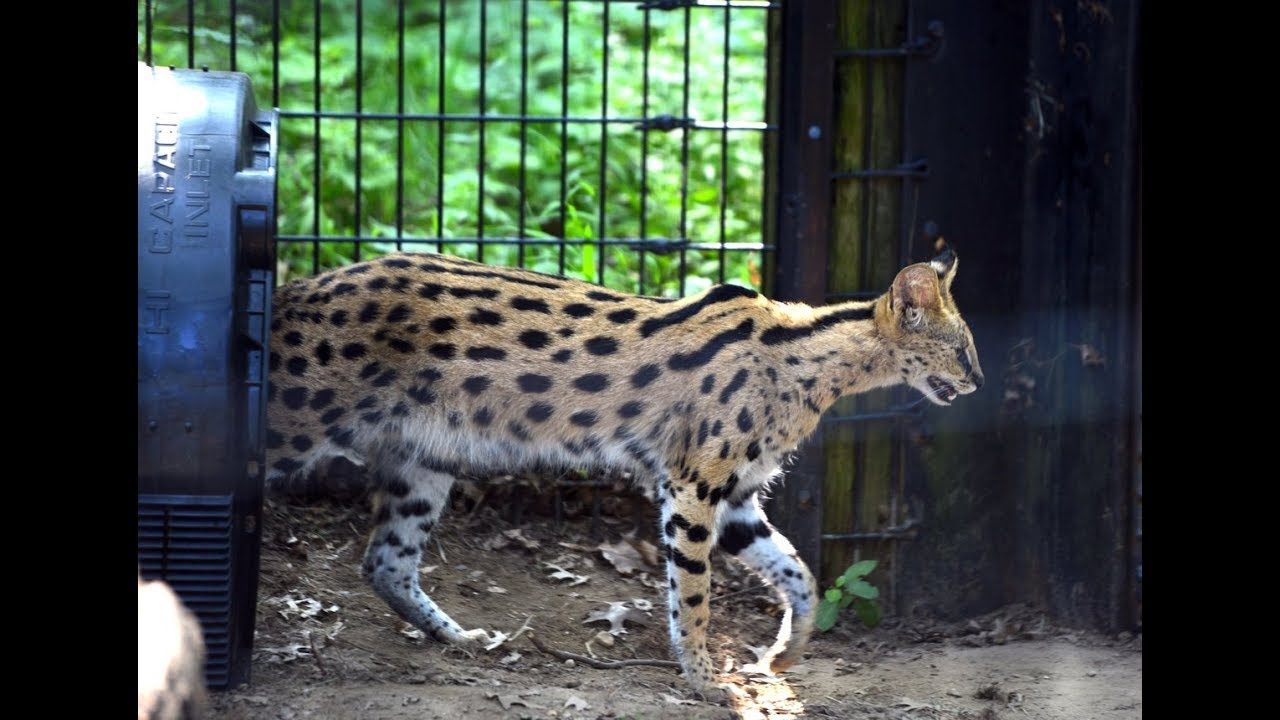 New \u0027cats\u0027 added as the latest residents at Springfield\u0027s Zoo in Forest Park