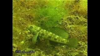 © Тилигульский лиман. Подводный мир