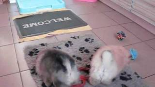 Pomeranian Kennel Iz Knyaginino, Litter 16.mp4