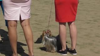 Собаки для женщин, йоркширский терьер