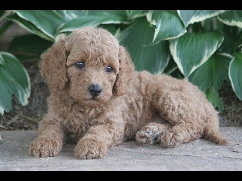 Miniature Poodle Puppies for Sale from Sunshine Acres
