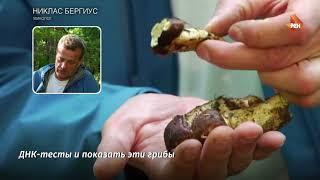 Гриб ценой 100 долларов на Сахалине