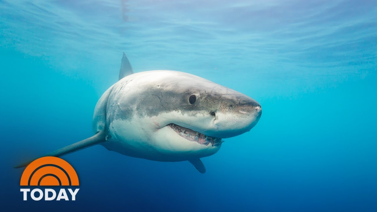 Cluster Of Great White Sharks Reported Off North Carolina Coast Today Youtube