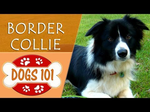 Dogs 101 - BORDER COLLIE - Top Dog Facts About the BORDER COLLIE
