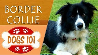 Dogs 101  BORDER COLLIE  Top Dog Facts About the BORDER COLLIE