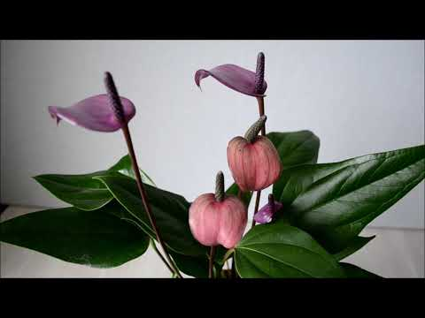 Антуриум Фиорино (Anthurium Fiorino)
