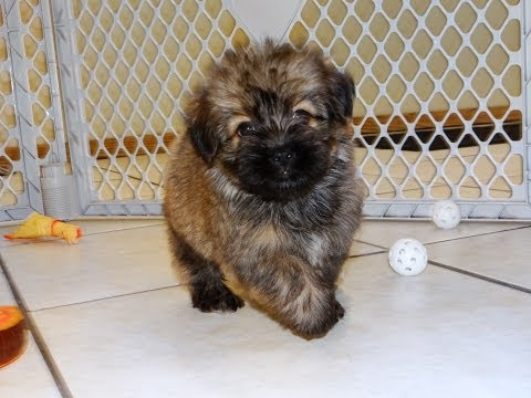 Havanese, Puppies, Dogs, For Sale, In Montgomery, Alabama, AL, 19Breeders, Hoover, Auburn