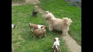 8 Weeks old Tibetan Terrier puppies www.variszkuszi.atw.hu.