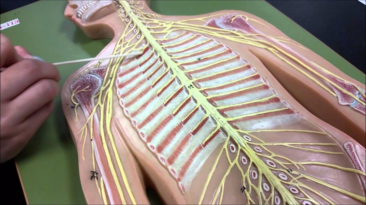 Anatomy  Nerves On Flatman
