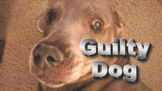 Funny Dog Crime Wave,super Britney Worlds Funniest Talking Weimaraner Dog At Large