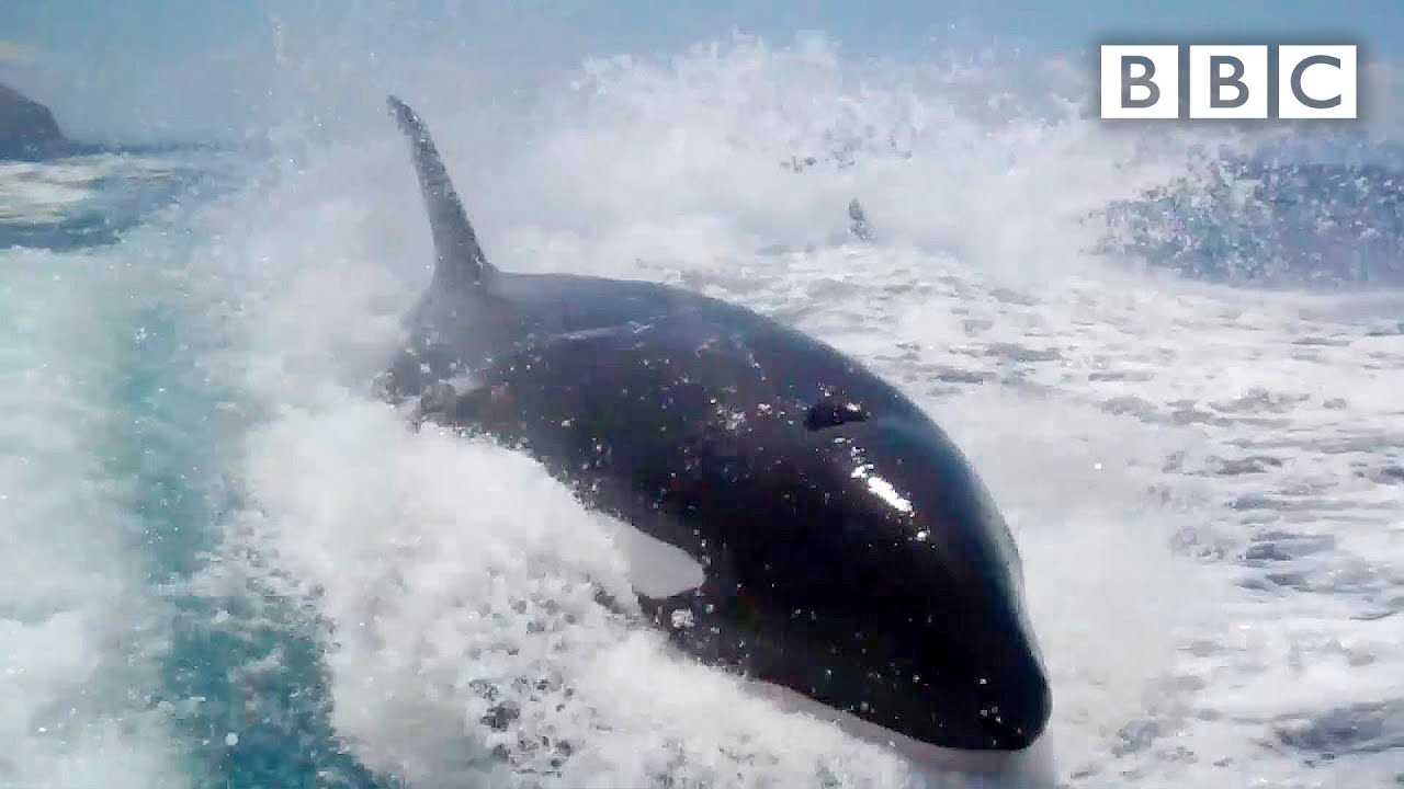 Why did Killer Whales chase a tourism boat? - Nature's Weirdest Events: Series 4 Episode 1 - BB