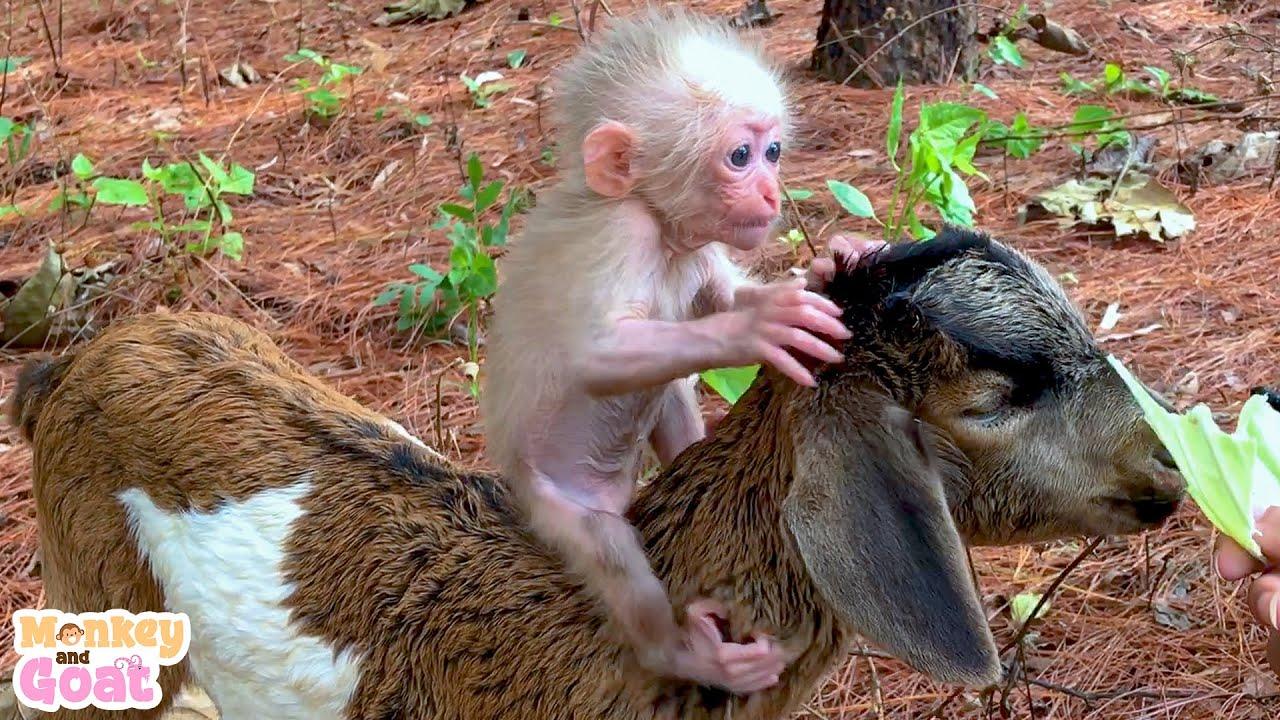 Baby mokey BiBi and goat BeBe are best friends
