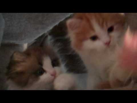 RagaMuffin kittens on the cat tower