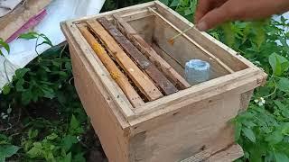 Cách khắc phục ong bị thối ấu trùng như thế nào