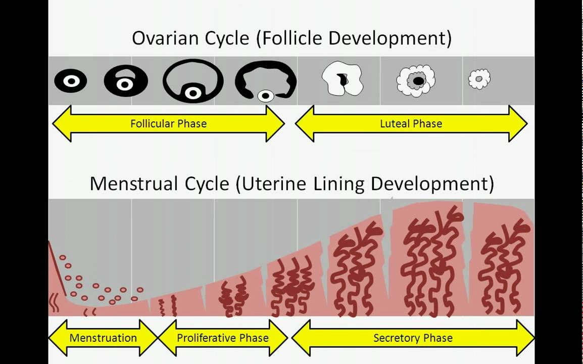 Difference between Menstrual and Oestrous Cycles – Explained!