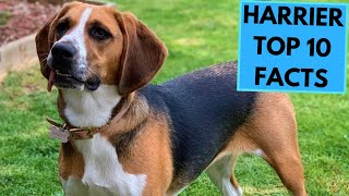 Harrier Dog Breed  TOP 10 Interesting Facts