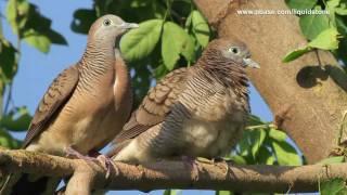 Wild Birds of Paranaque (Philippines)