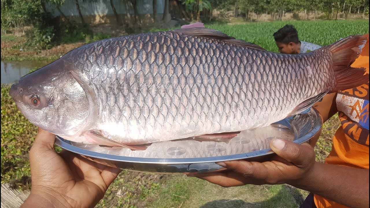 Big Rohu Fish Fry With Spice Ingredient - Rui Fish Fry By Boys For Village Kids