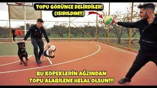 BU KÖPEKLERİN AĞZINDAN TOPU ALABİLENE HELAL OLSUN!! - (TOPU GÖRÜNCE DELİRDİLER!!!)