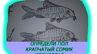 Определи пол Коридорас Крапчатый сомик, Разговор о размножении сомов
