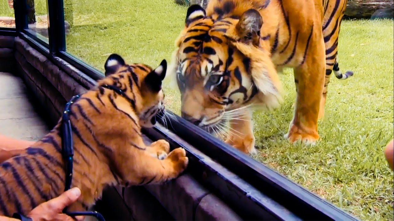 Top 5 Tiger Moments | BBC Earth