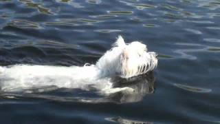 Wellington The Westie Swimming