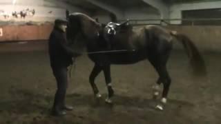 Конный спорт обучение. Уступка шенкелю в руках. Палочкой. Кизимов М.И. Самара.