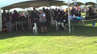 Palm Springs Kennel Club Dalmatian