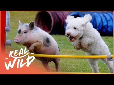 Teacup Dogs, Micropigs and Giant Rabbits [Super Tiny Animals Documentary]   Wild Things