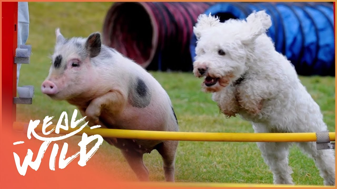 Teacup Dogs, Micropigs and Giant Rabbits [Super Tiny Animals Documentary] | Wild Things
