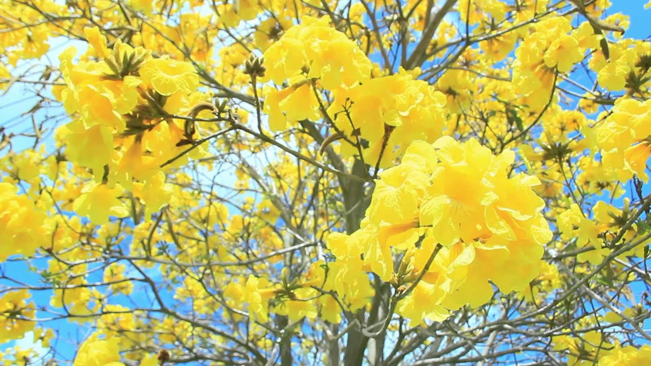 Spectacular blossom display yellow trumpet tree youtube youtube premium mightylinksfo